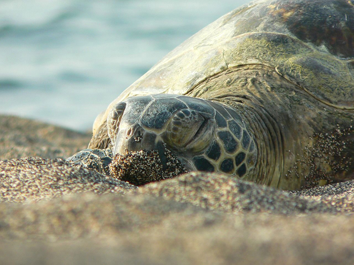 Green Turtle in Hawaii