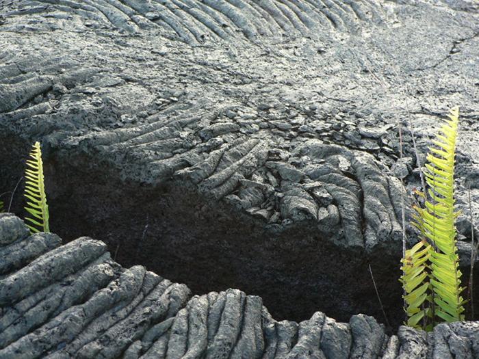 Ferns in Black Lava
